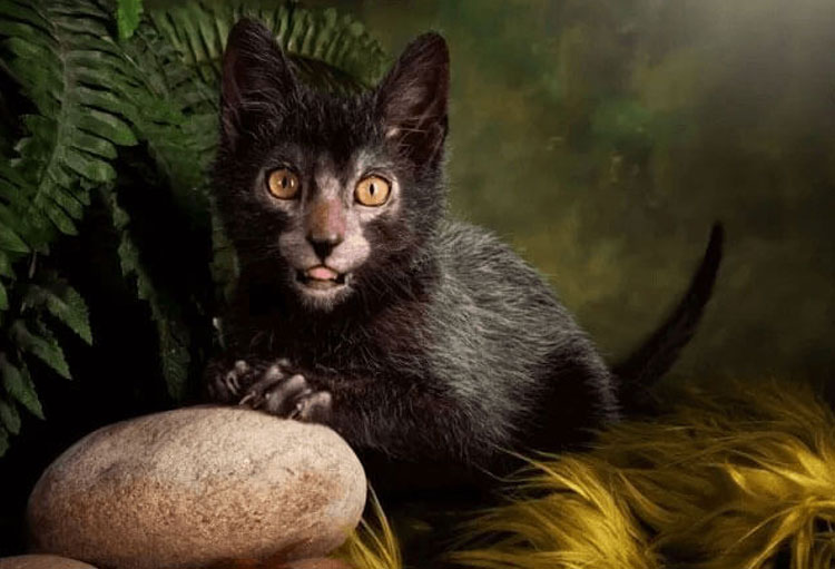 a black-haired lykoi cat hiding