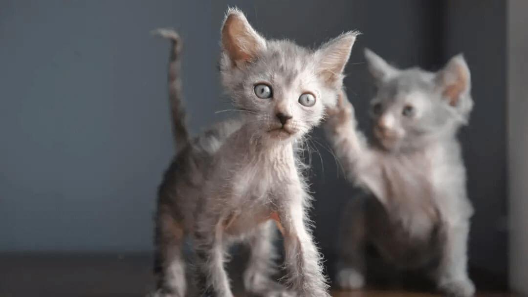 two lykoi kittens playing around