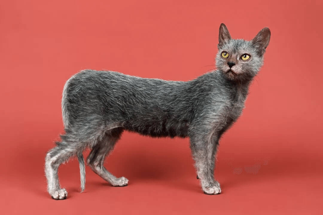 a rare cat called Lykoi