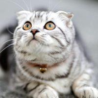 6 Best Indoor Cat Breeds