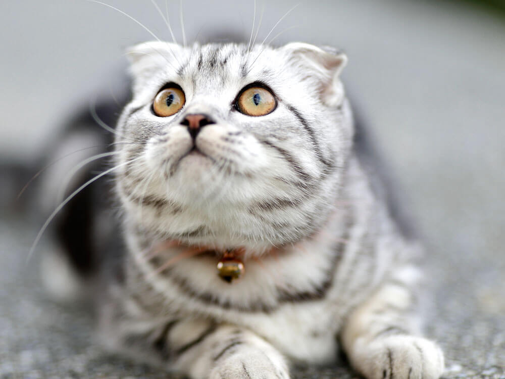6 Best Indoor Cat Breeds and a List of Reasons Why