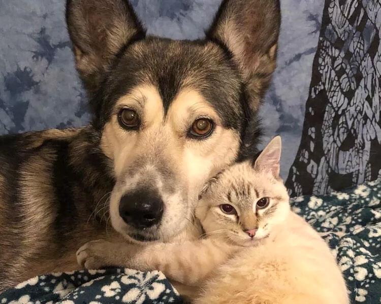 kitten HarPURR and husky Cinder cuddling each other
