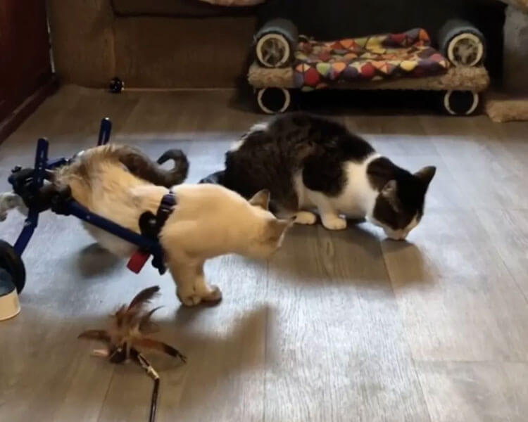 HarPURR using his own wheelchair beside another rescued cat