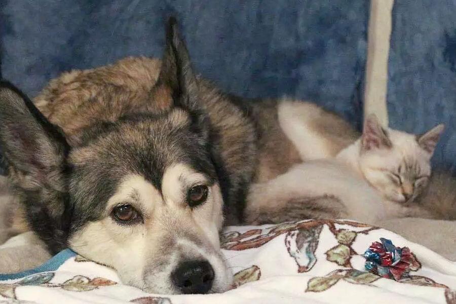 kitten HarPURR and husky Cinder lies in bed