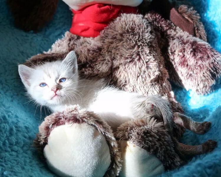 HarPURR, a rescued kitten, lying on a teddy bear