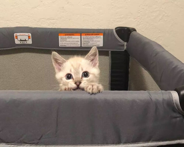 a rescued kitten harPURR standing in a crib
