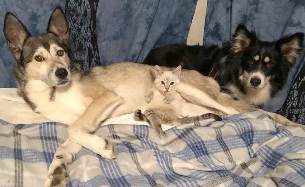 HarPURR the kitten, lying in bed together with husky Cinder and another rescued dog