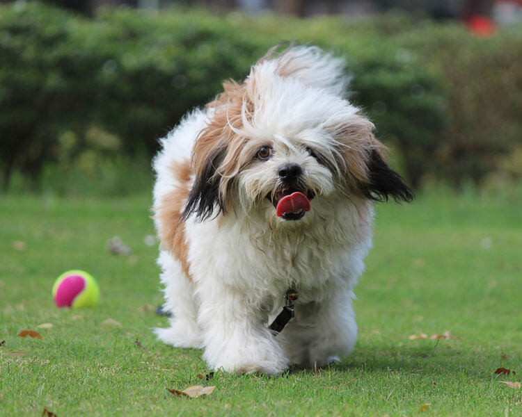 lhasa apso, one of the 10 longest living dog breed