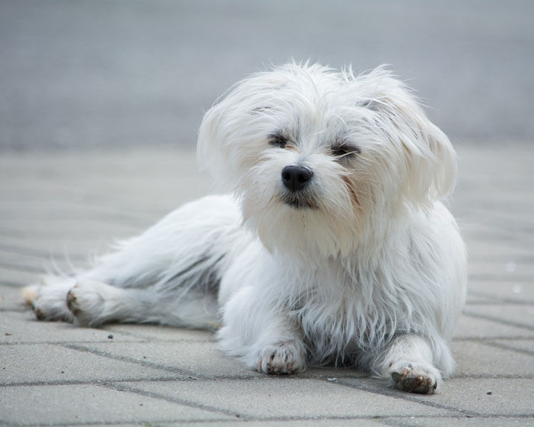 maltese, one of the 10 longest living dog breed
