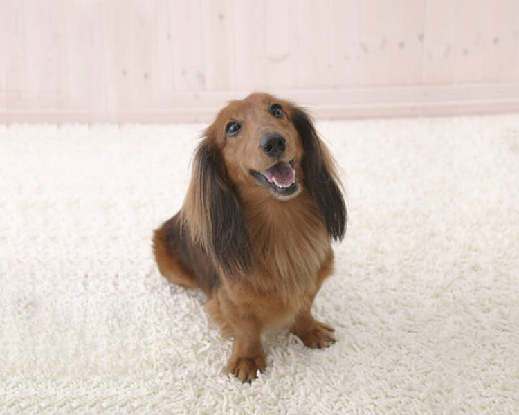 mini dachshund in training