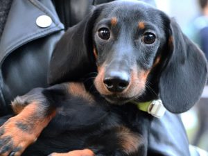 Dachshund Training Tips: Correcting Bad Behaviours