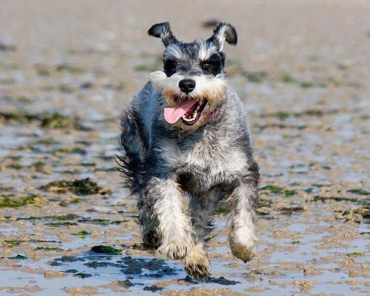 miniature schnauzer, one of the 10 longest living dog breed