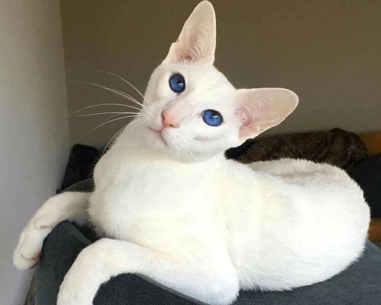 an oriental shorthair cat sitting on a sofa