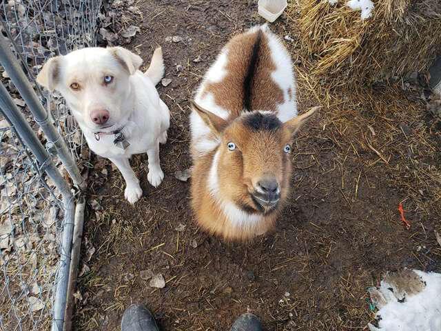 goat and dog partner