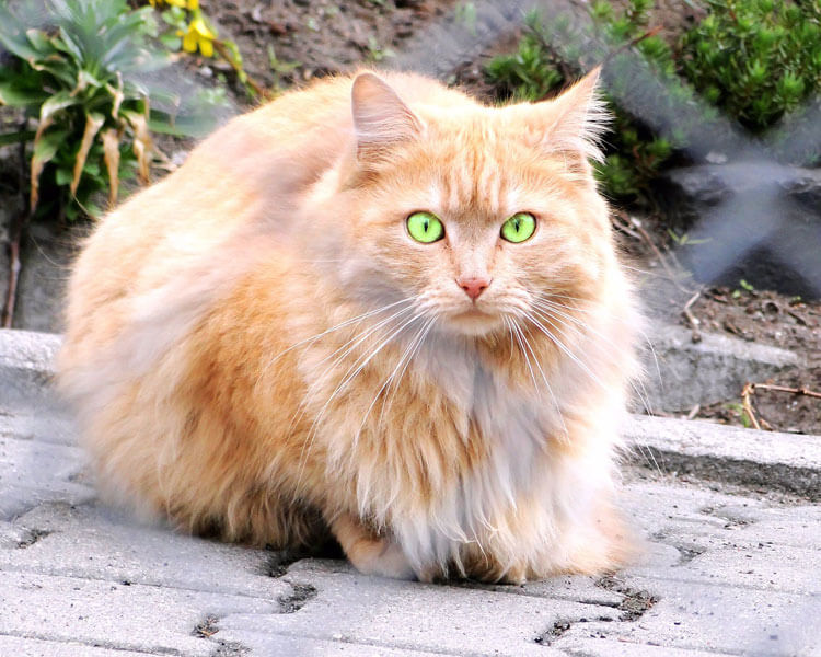 Persian cat, one of the best indoor cat breed