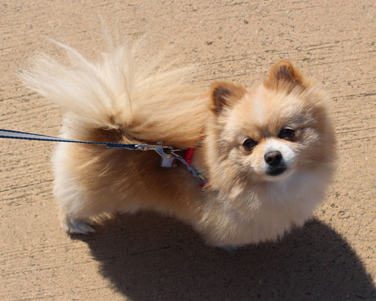 pomeranian, one of the 10 longest living dog breed