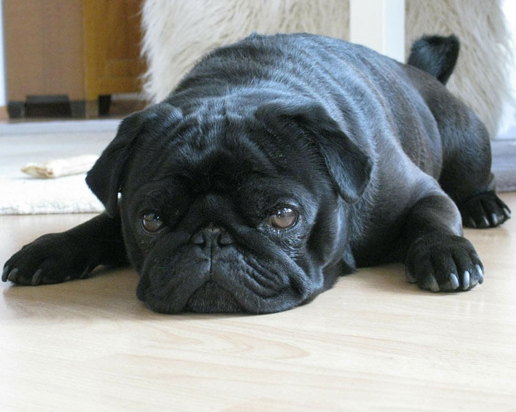 pug, one of the 10 longest living dog breed