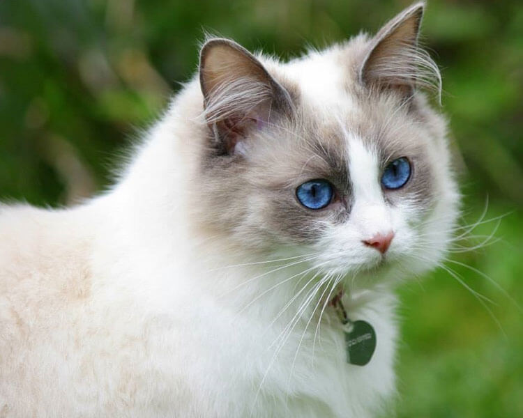 ragdoll, one of the best indoor cat breed