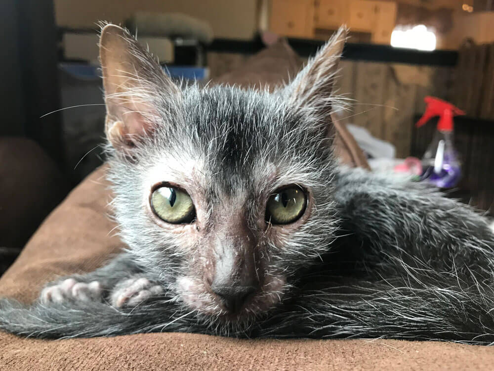 Rescued Stray Feline turns out to be a 'Werewolf'