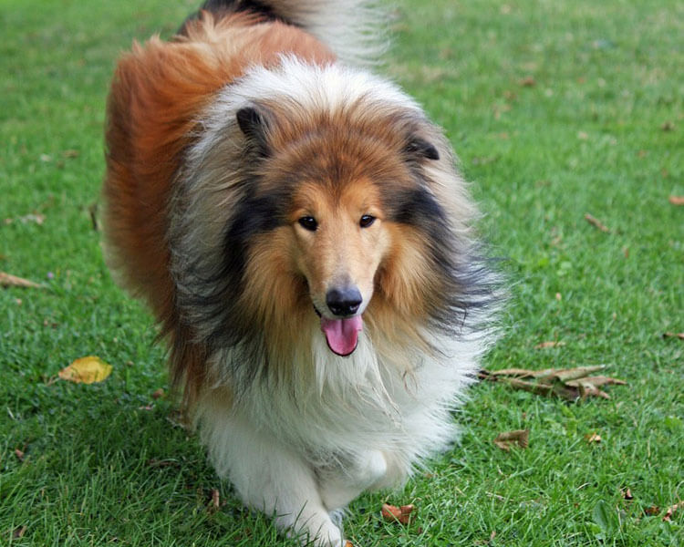rough collie, one of the most loyal dog breed