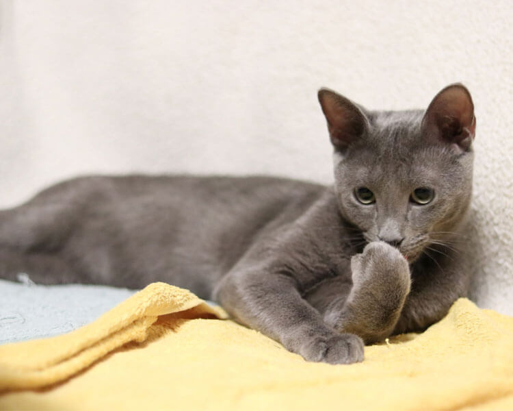 russian blue cat, one of the best indoor cat breed