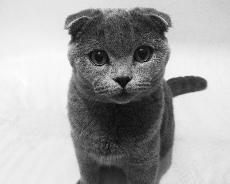 scottish fold, one of the best indoor cat breed