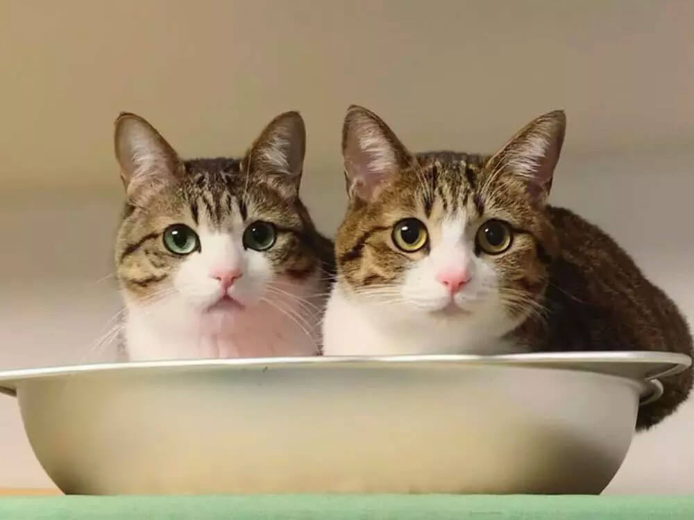 """Shelter Kitten Loves His New """"Lookalike"""" Brother"""