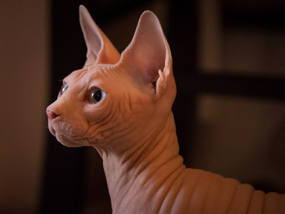 How a Sphynx Cat Wins People's Hearts