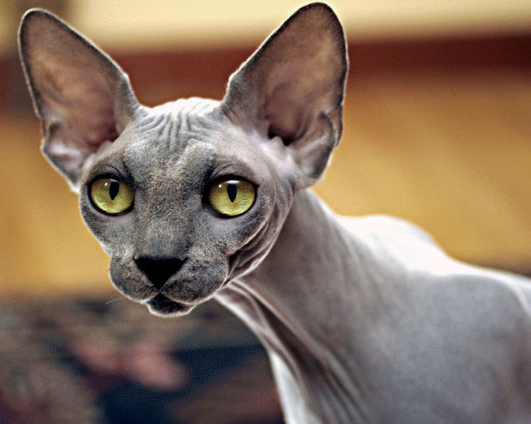sphynx, one of the best indoor cat breed
