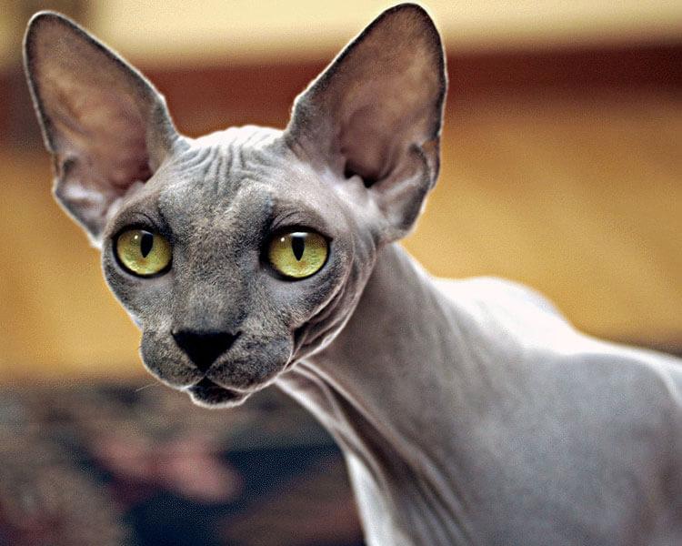 sphynx, one of the best indoor cat breed
