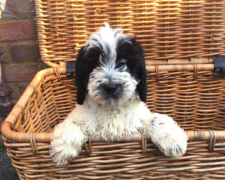 a sproodle puppy in a basket