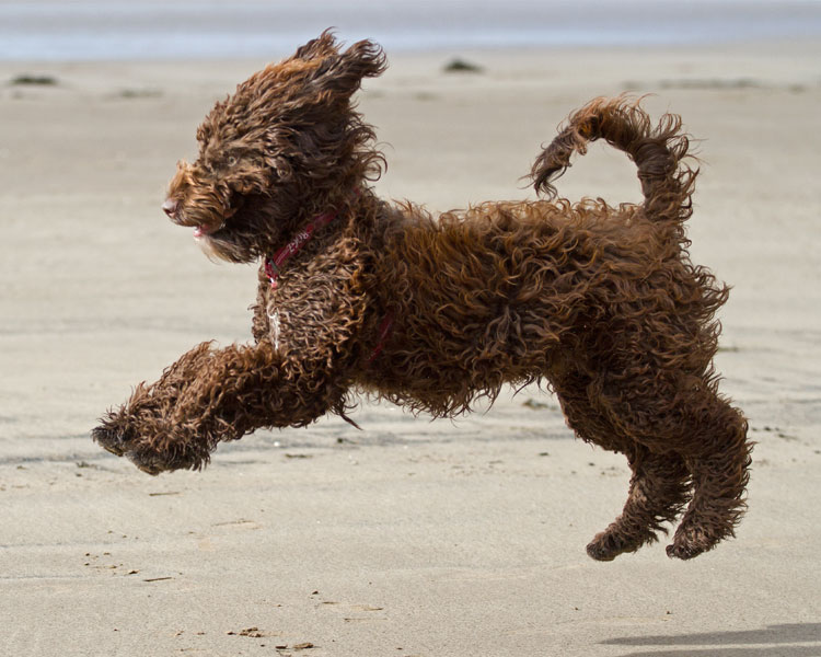 a sproodle running on the beach