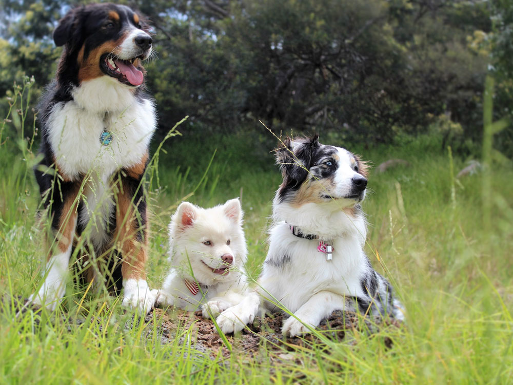 three dogs resting in the grass field
