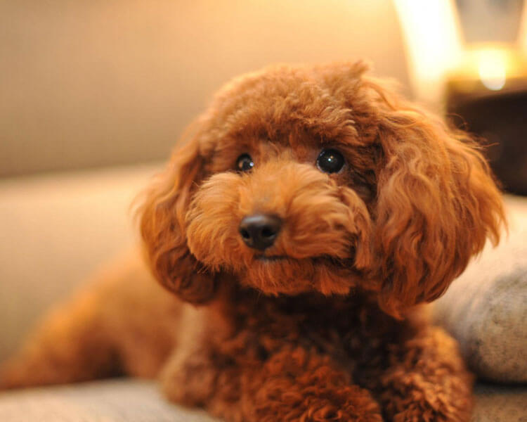 toy poodle, one of the 10 longest living dog breed