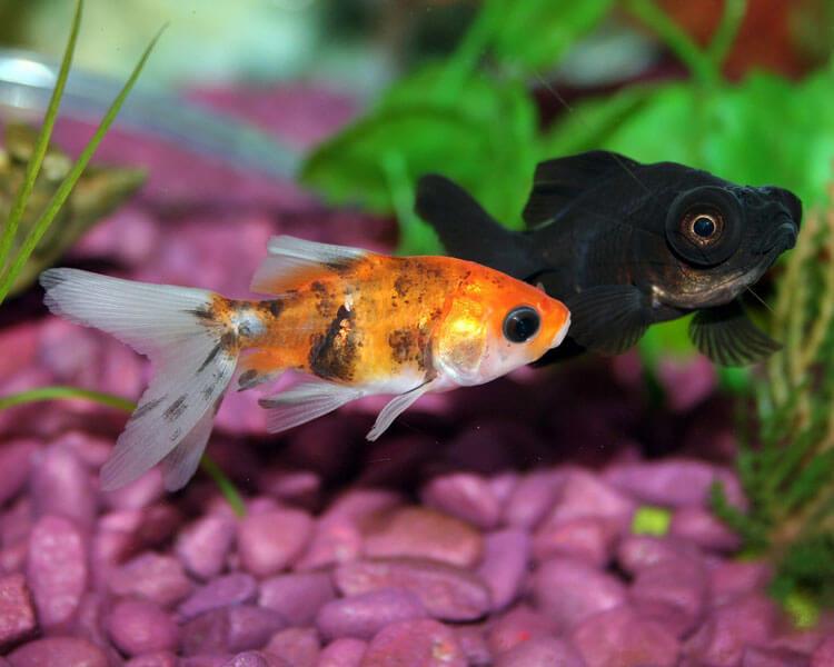 an orange and black fish in an aquarium