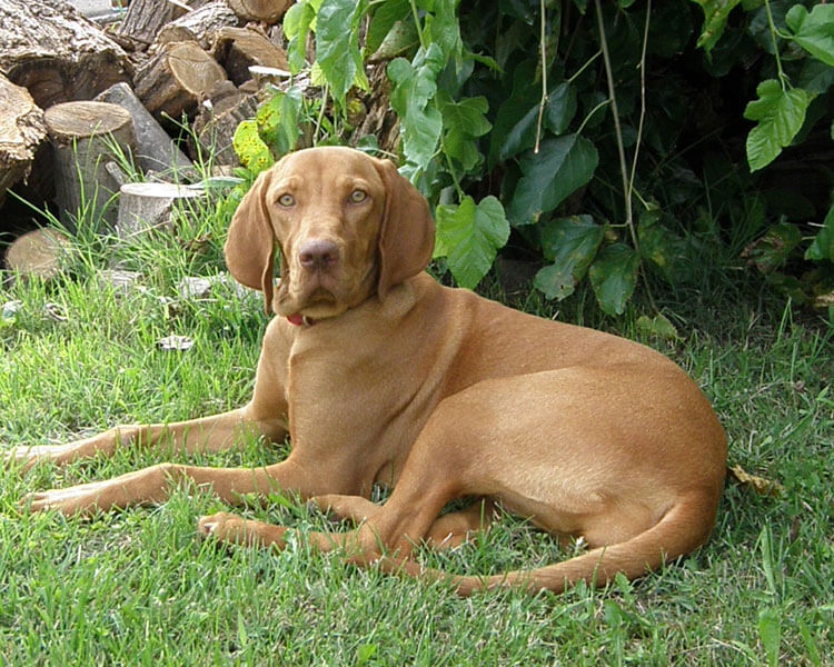vizsla, one of the fastest dog breed