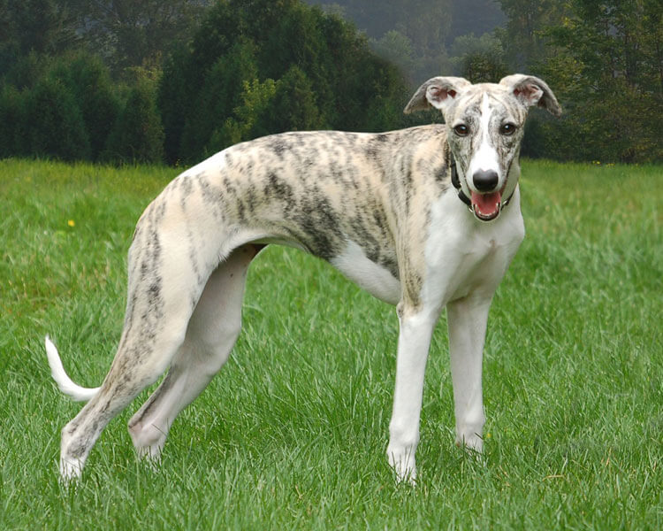 whippet, one of the fastest dog breed