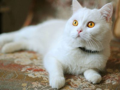 Superstitions and Scientific Truths About White Cats