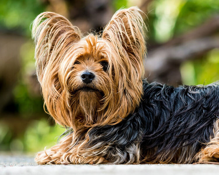 yorkshire terrier, one of the most loyal dog breed