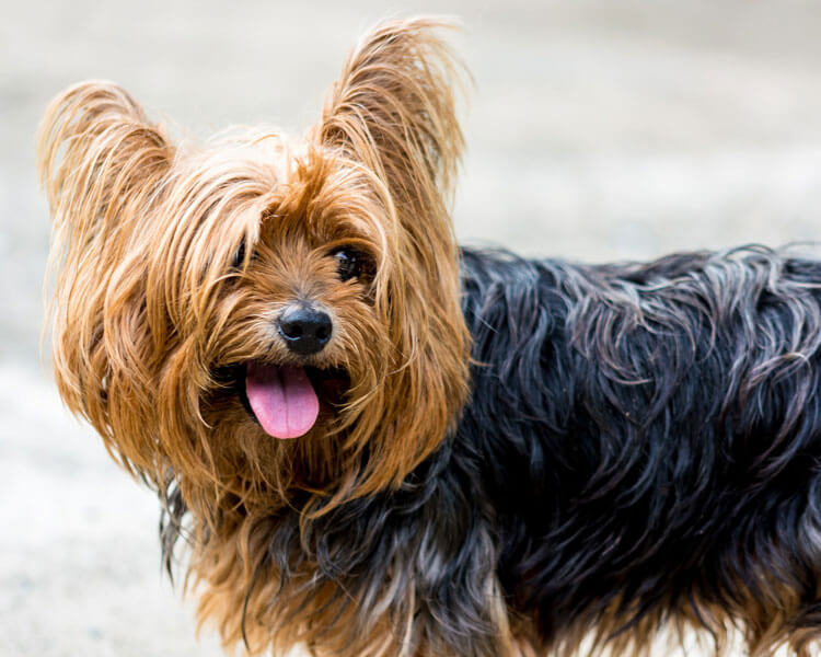 yorkshire terrier, one of the 10 longest living dog breed
