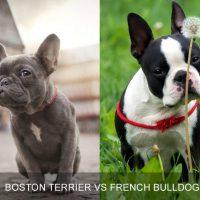 Breed Comparison: Boston Terrier vs French Bulldog