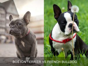 Breed Comparison: Boston Terrier vs French Bulldog
