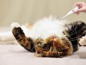 Can a Cat's Temperature Tell You Its Physical Condition?