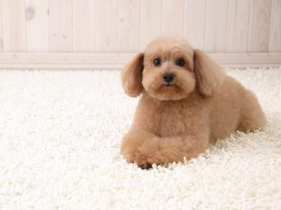 Toy Poodle Facts Every Poodle Owner Should Know