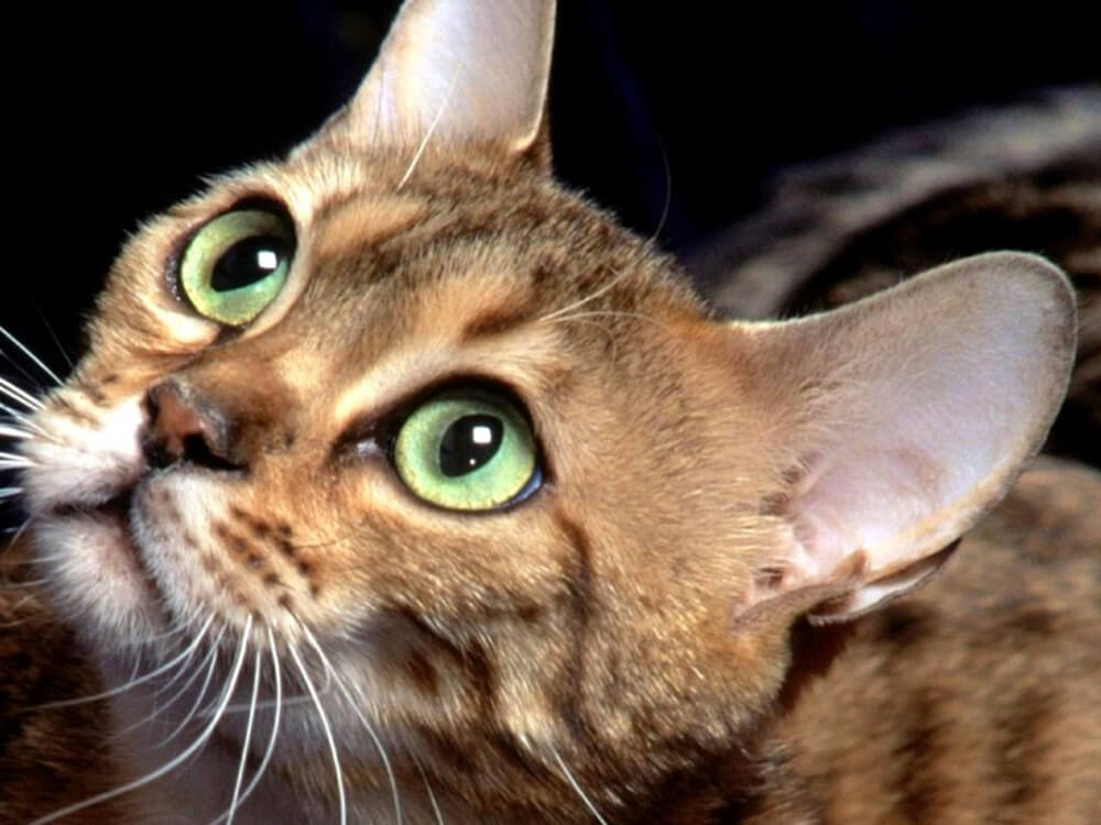 Uncover the Amazing Secrets of a Cat's Ears