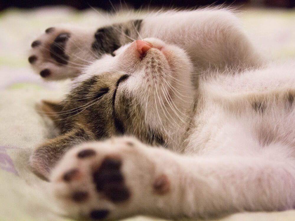 cat lay down