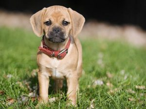 7 Small Dog Breed Myths and Misconceptions
