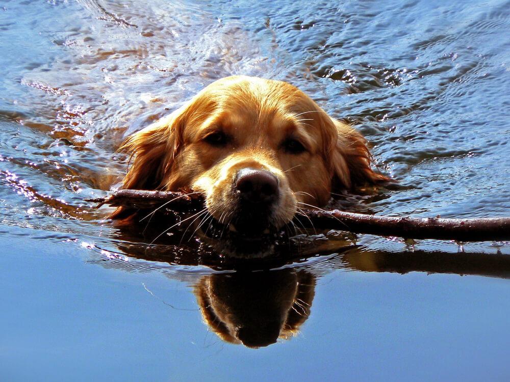 good dog swimmer