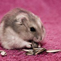 Hamster Lifespan: Tips for Longer Years of Companionship