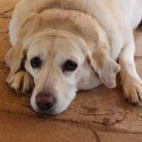 Labrador Facts: 3 Health Risks Alert